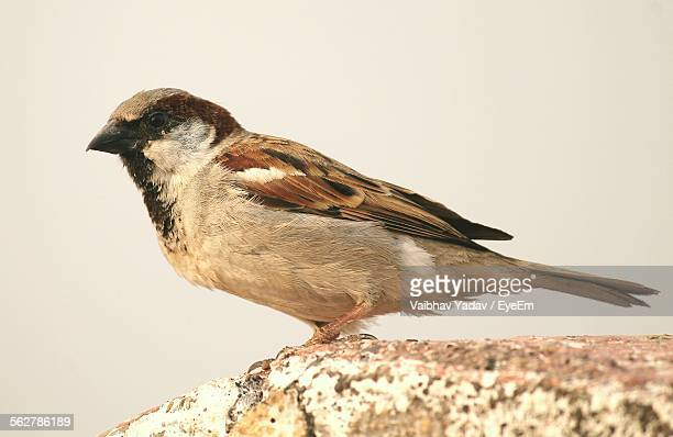 Close-Up Of Sparrow Perching On Rock Against Sky