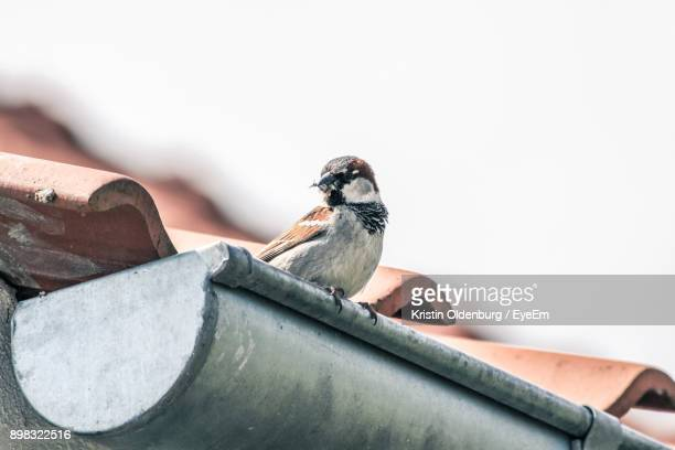 Close-Up Of Sparrow Perching On Roof Against Sky