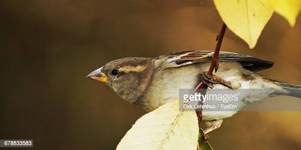 Close-Up Of Sparrow Perching On Twig