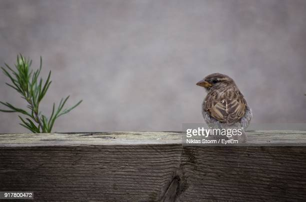 close-up of sparrow perching on wood - niklas storm eyeem stock photos and pictures
