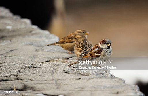 Closeup of sparrows perching wall stock photo getty images thecheapjerseys Gallery