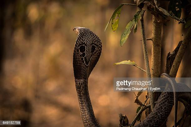 Close-Up Of Spectacled Cobra On Plant