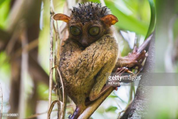 Close-up of spectral tarsier on branch