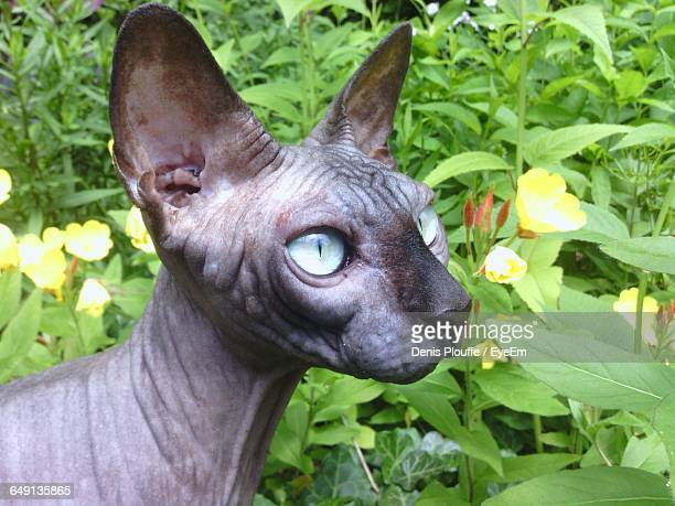 close-up of sphynx hairless cat by plants on field - ugly cat stock photos and pictures