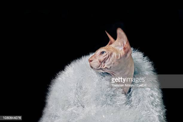 close-up of sphynx hairless cat wearing white fur coat against black background - fur coat stock pictures, royalty-free photos & images