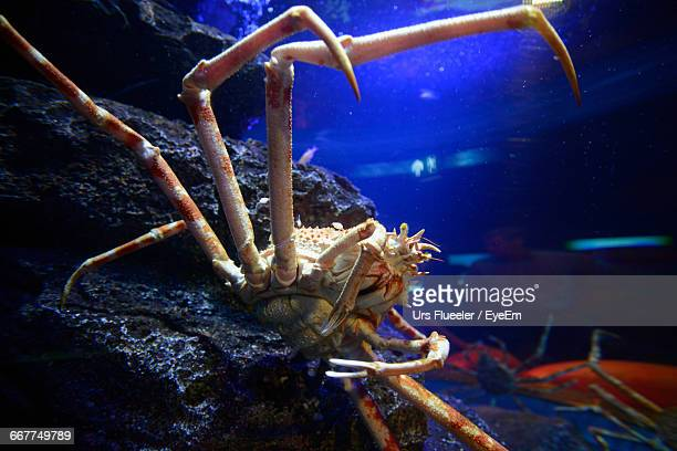 close-up of spider crab in aquarium - spider crab stock photos and pictures
