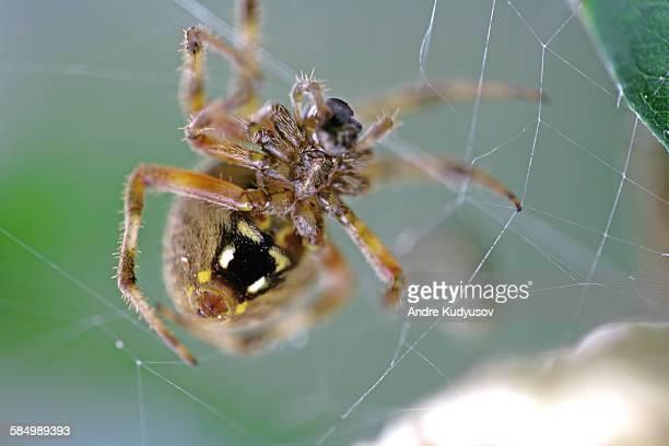 close-up of spider female (araneus diadematus) - ニワオニグモ ストックフォトと画像