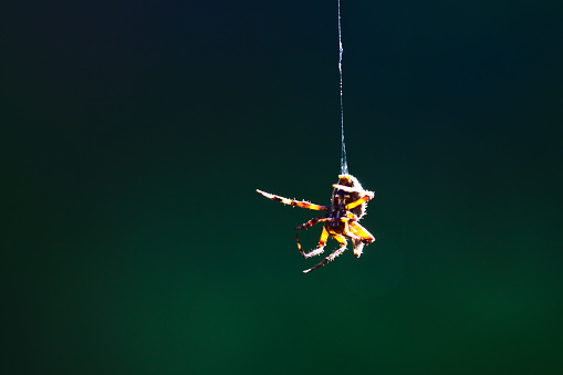 Closeup of spider hanging in midair 1085720472