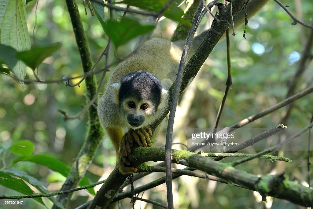 Close-Up Of Spider Monkey On Tree At Forest : Stock Photo