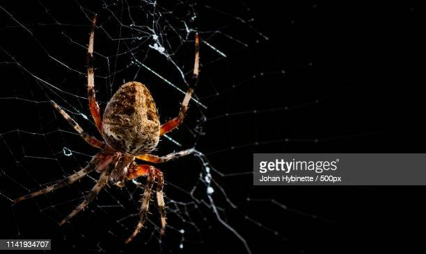 close-up of spider on web against black background - ugly spiders stock photos and pictures