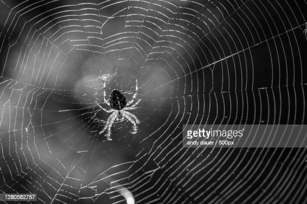 close-up of spider on web - andy dauer stock pictures, royalty-free photos & images