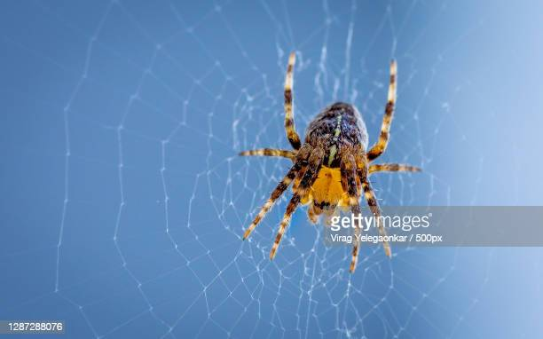 close-up of spider on web,british columbia,canada - ニワオニグモ ストックフォトと画像