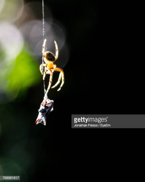 Close-Up Of Spider Trapping Insect On Web