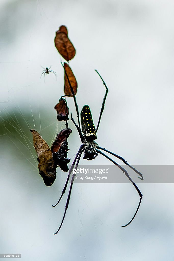 Close-Up Of Spiders On Web : Stock Photo