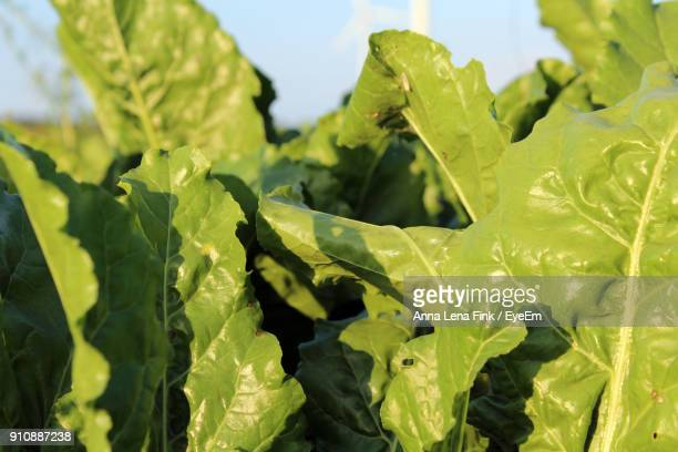 Close-Up Of Spinach Growing At Farm On Sunny Day