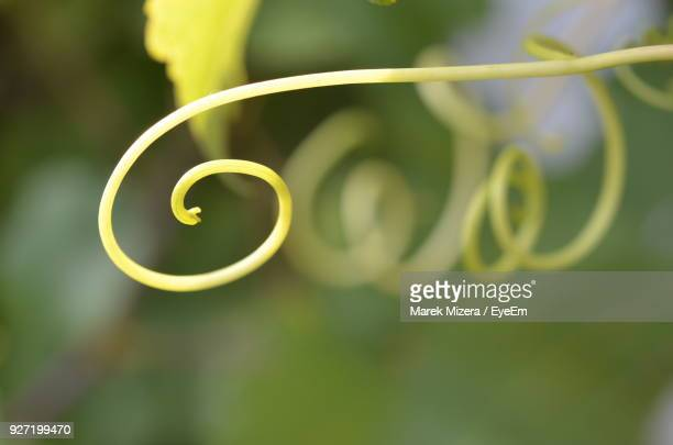 Close-Up Of Spiral Green Plant