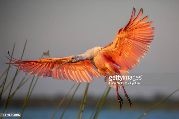 close-up of spoonbill flying - bradenton stock pictures, royalty-free photos & images