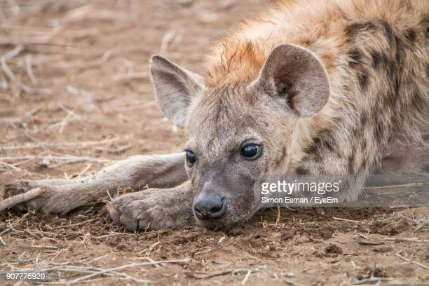 close-up of spotted hyena on field - hyena stock pictures, royalty-free photos & images