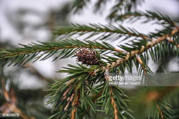 Close-Up Of Spruce Tree Growing Outdoors