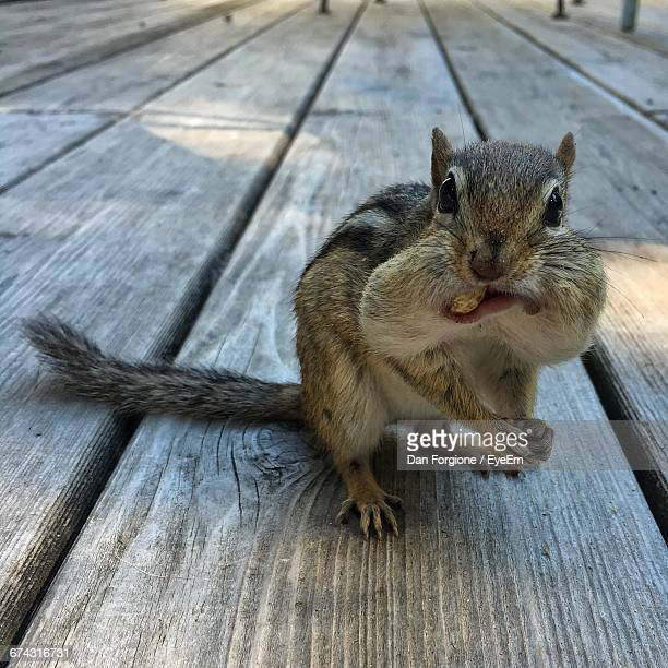 close-up of squirrel carrying nuts in mouth - リス ストックフォトと画像