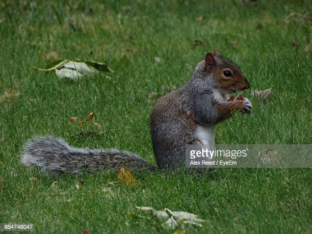 Close-Up Of Squirrel Eating At Garden