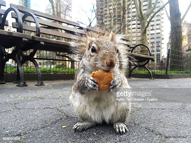 close-up of squirrel eating food on street in city at madison square park - one animal stockfoto's en -beelden