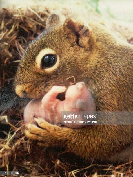 close-up of squirrel holding young animal - young animal stock pictures, royalty-free photos & images