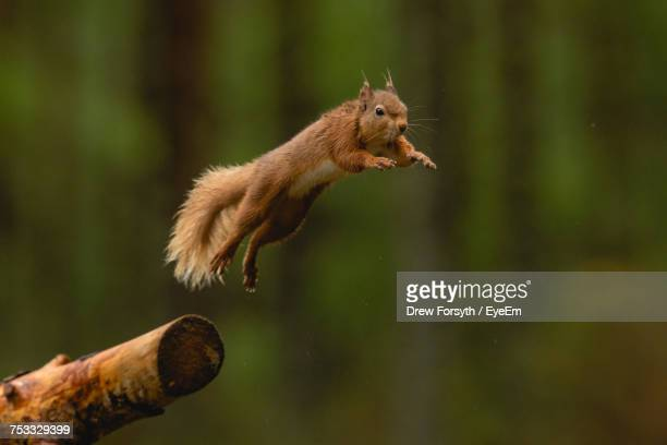 Close-Up Of Squirrel Jumping