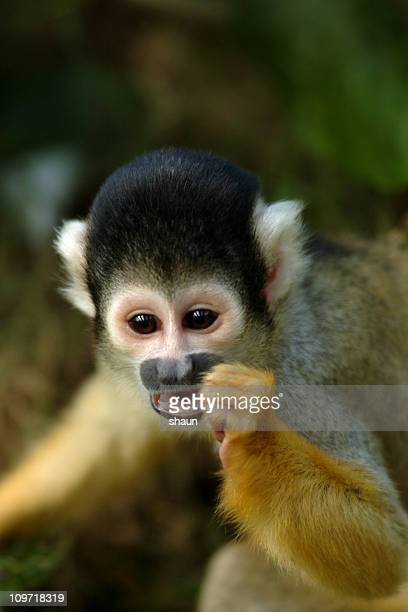 Close-up of Squirrel Monkey Foraging
