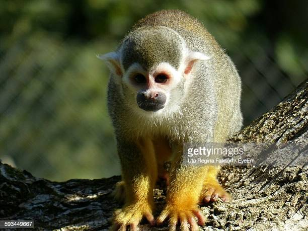 Close-Up Of Squirrel Monkey On Tree Trunk At Zoo