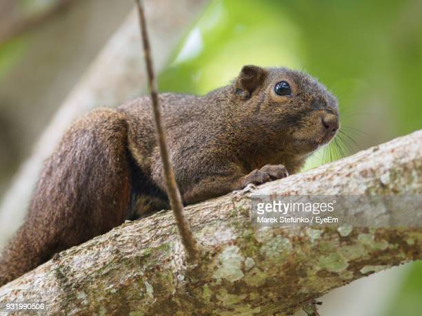 close-up of squirrel on branch - marek stefunko imagens e fotografias de stock