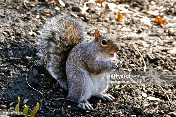 close-up of squirrel on field - gray squirrel stock pictures, royalty-free photos & images