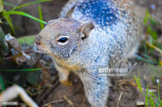 close-up of squirrel on field - ashley ross stock pictures, royalty-free photos & images