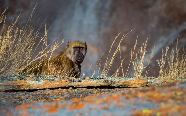 Close-up of squirrel on field,Matopos,Zimbabwe