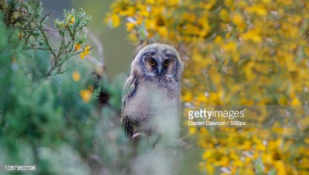close-up of squirrel on field,scotland,united kingdom,uk - great horned owl stock pictures, royalty-free photos & images