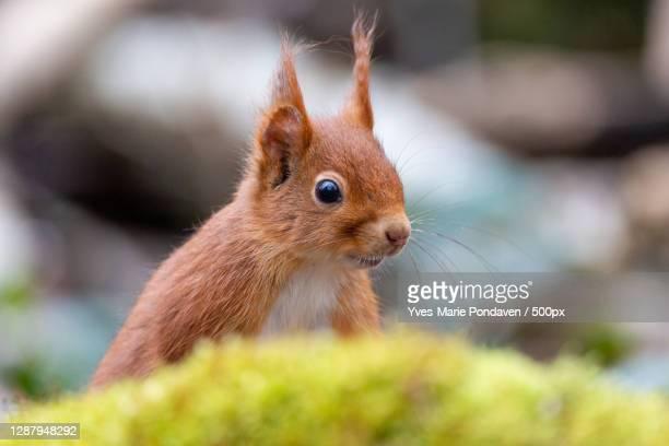 close-up of squirrel on field,vincennes,france - vincennes stockfoto's en -beelden
