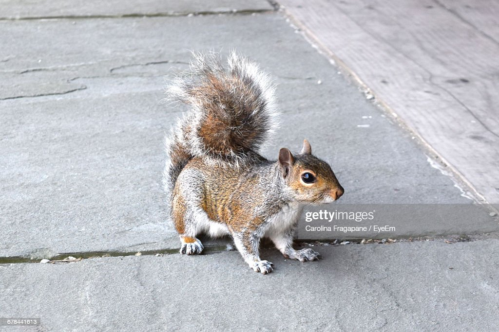 Close-Up Of Squirrel On Footpath : Foto stock