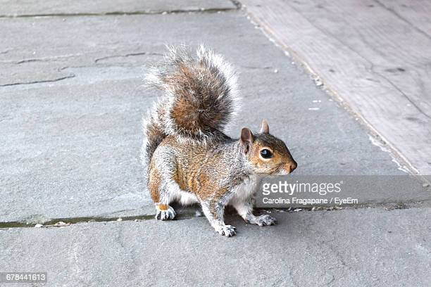 close-up of squirrel on footpath - carolina fragapane stock pictures, royalty-free photos & images