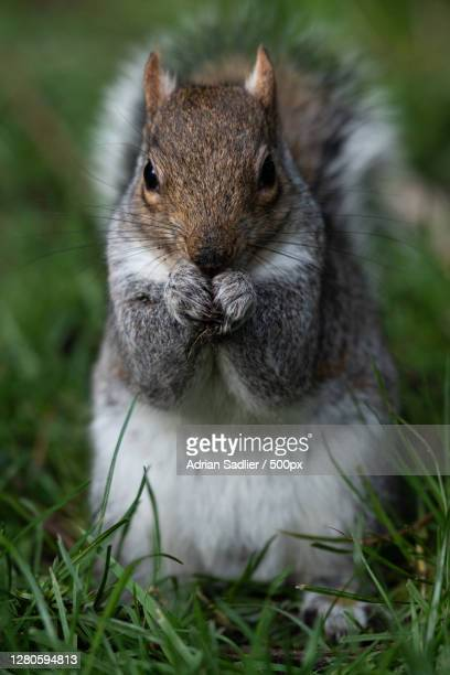 close-up of squirrel on grass, dublin, ireland - leinster province stock pictures, royalty-free photos & images