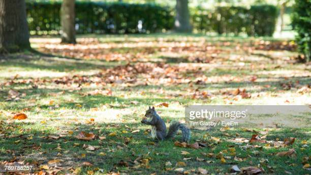 Close-Up Of Squirrel On Grassy Field