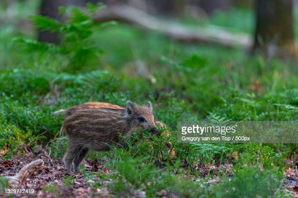 close-up of squirrel on grassy field,uddel,netherlands - 雌豚 ストックフォトと画像