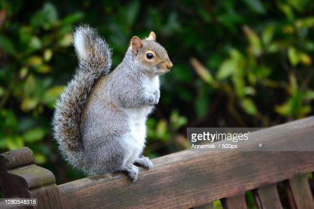 close-up of squirrel on railing,london,england,united kingdom,uk - gray squirrel stock pictures, royalty-free photos & images