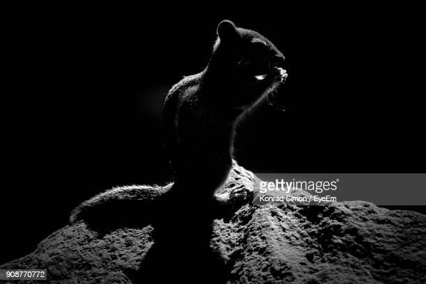 close-up of squirrel on rock - rodent stock pictures, royalty-free photos & images