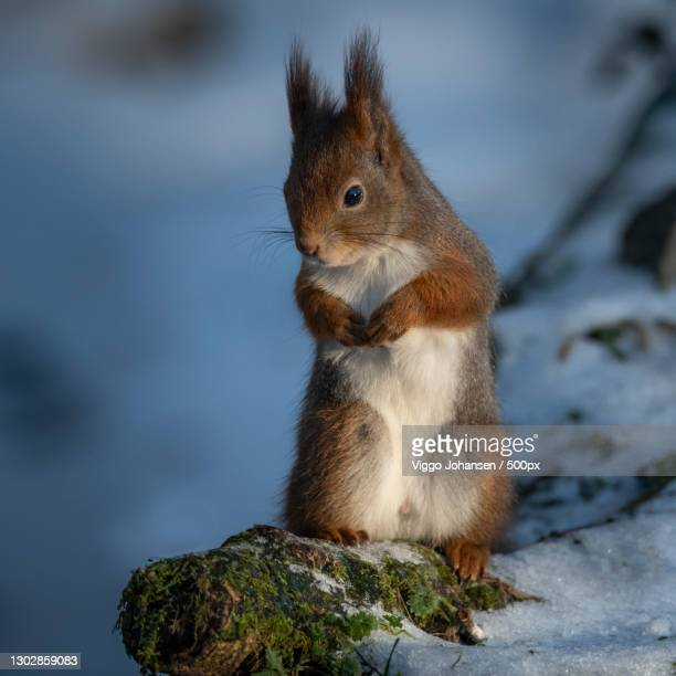 close-up of squirrel on rock,stavanger,norway - images stock pictures, royalty-free photos & images