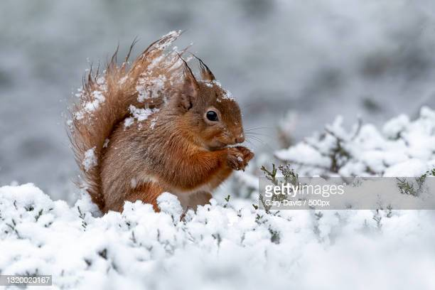 close-up of squirrel on snow covered land,united kingdom,uk - animal stock pictures, royalty-free photos & images