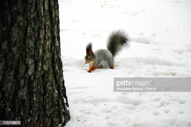 Close-Up Of Squirrel On Snow During Winter