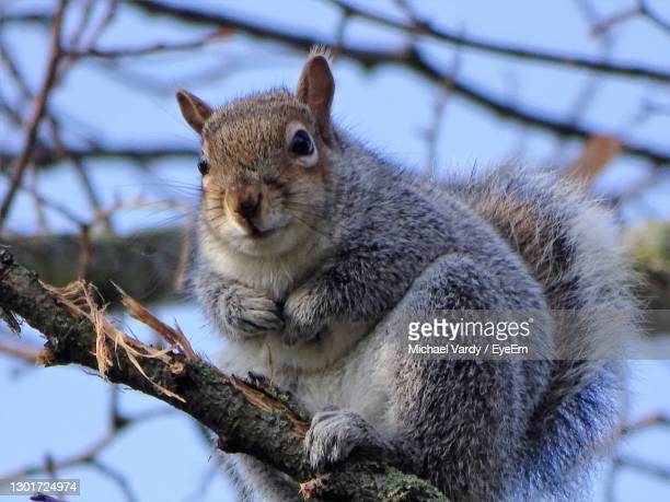 close-up of squirrel on tree - stockton on tees stock pictures, royalty-free photos & images