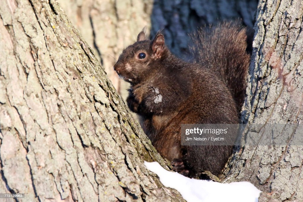 Close-Up Of Squirrel On Tree Trunk During Winter : Photo