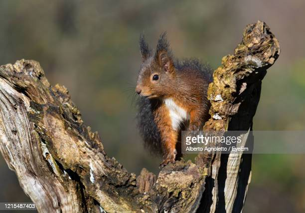 close-up of squirrel on tree trunk - treviso italy stock pictures, royalty-free photos & images