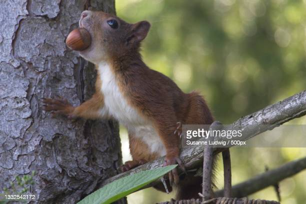 close-up of squirrel on tree trunk,germany - susanne ludwig stock pictures, royalty-free photos & images